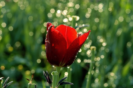 beautiful red tulips close up: red tulips, light reflection, water drop,