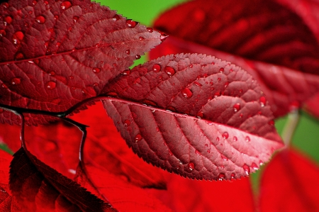 Maple, leaf, tissue, endemic, red, tree, drop, Stock Photo - 13789080