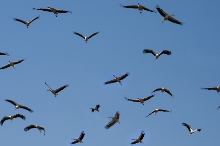 Storks Flying in the Sky Stock Photo - 15160369