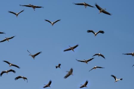 Storks Flying in the Sky Stock Photo - 15160369