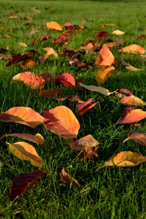 fallen yellow leaves on green grass Stock Photo - 16789604