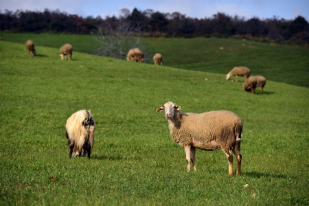 green meadow and Sheep Grazing photo