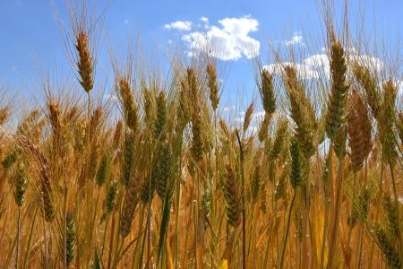 barley head: ears of wheat and cloudy blue sky