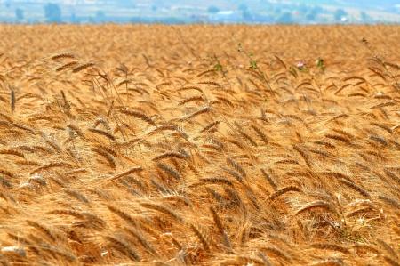 grain fields: Wheat field illuminated by rays of the setting sun