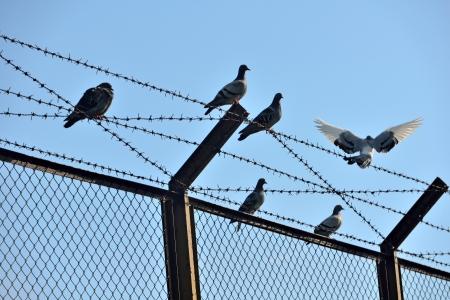 Tauben auf Drahtgeflecht