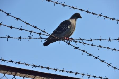 wire mesh: dove on wire mesh Stock Photo