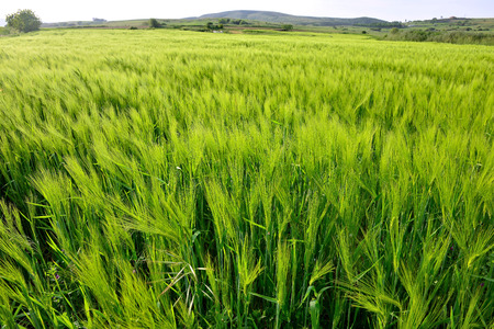 barley head: The vast field of green ears of barley