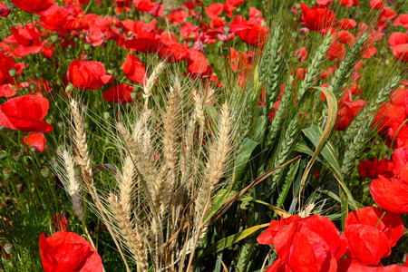 barley head: Red poppies in the middle of dry and green wheat ears