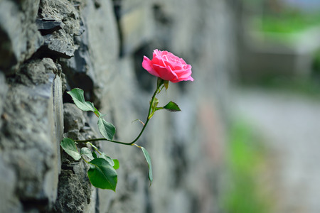 pink rose and stone wall photo