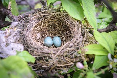 nido de pajaros: Un verdadero nido de p�jaros con los huevos en un �rbol Foto de archivo