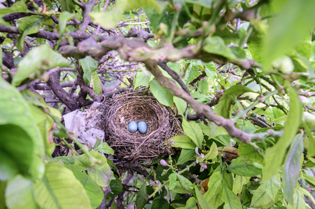 birds in tree: A real birds nest with eggs in a tree Stock Photo