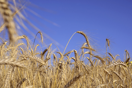 barley head: ears of wheat, blue sky background