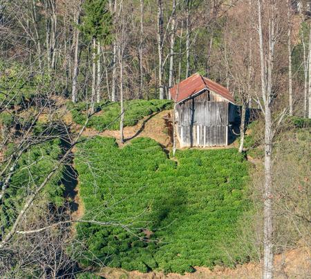 Green tea plantation landscape in Trabzon - Turkey