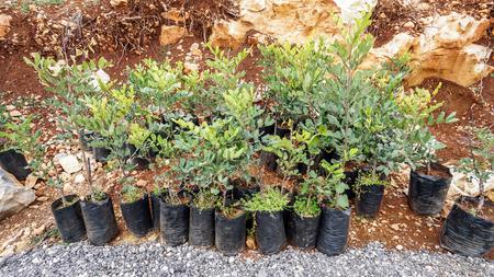 ready-to-plant carob seedlings