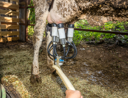 cow milking with machine in the countryside.