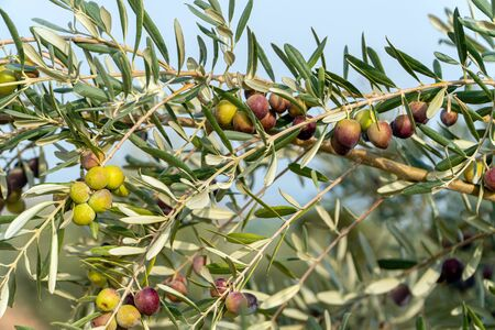 Close-up view of green olives on tree branches with blurred background