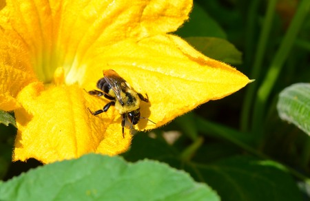 squash bug: Bumble Bee in Bloom Stock Photo