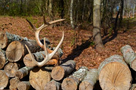 woodpile: Woodpile with antlers Stock Photo