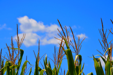 corn stalks: Corn stalks growing in a field with backdrop of white fluffy clouds