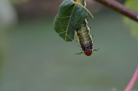 invasive plant: Caterpillar eating a leaf