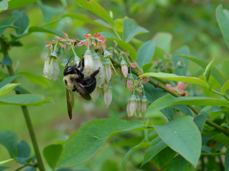Bumble bee pollinating blueberry plant blossoms