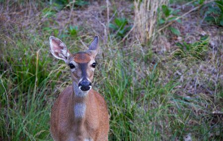 whitetail: Whitetail deer