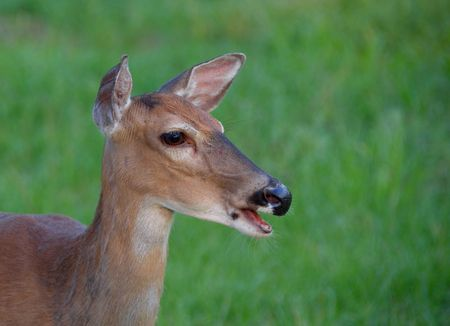 doe: Whitetail deer doe