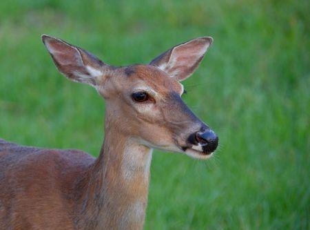 whitetail: Whitetail deer doe