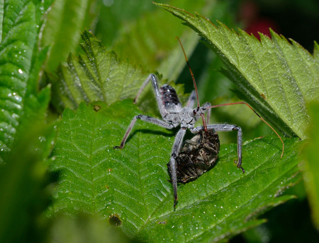 assassin: Assassin bug eating a Japanese Beetle Stock Photo
