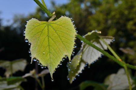leaf grape: Hoja de la uva con gotas de roc�o que relucir espumosos