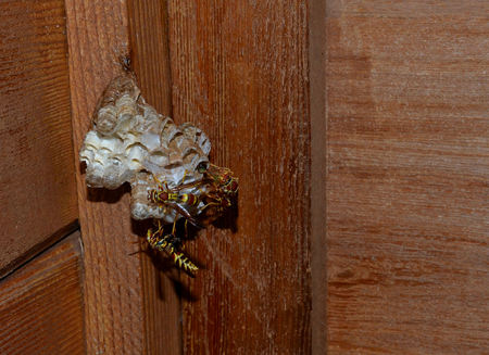 Wasps, laying egg larve and protecting nest