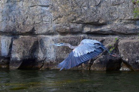 great blue heron: Great Blue Heron in flight, Ardea Herodias