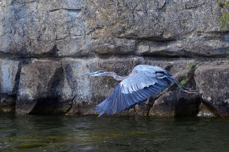 blue heron: Great Blue Heron in flight, Ardea Herodias