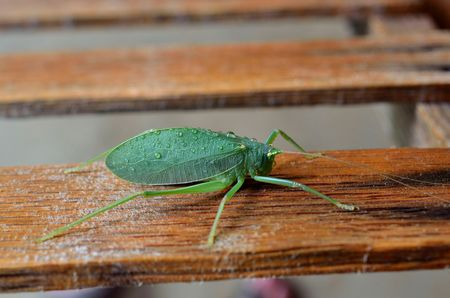 cricket insect: Katydid bush cricket, insect that resembles a leaf