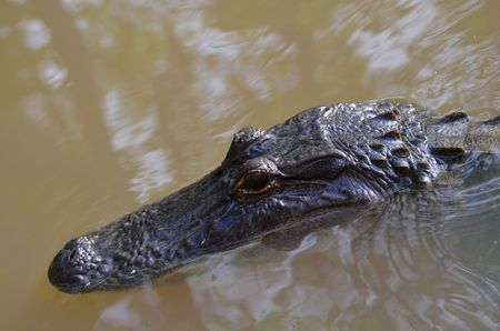 bayou swamp: Alligator head, reptile is swimming in the bayou of a Louisiana swamp