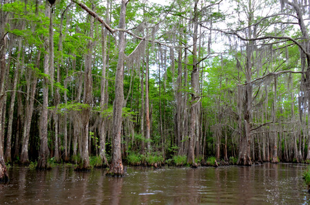 Cypress trees in Louisiana bayou swamp