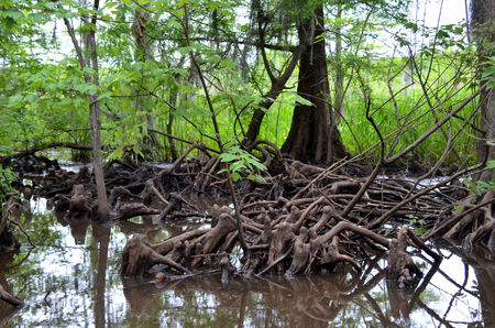cypress: Cypress knees in Louisiana bayou swamp marsh