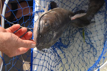 Wild freshwater catfish