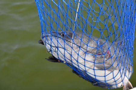 freshwater: Wild freshwater catfish caught in net Stock Photo