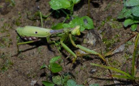 predatory: Praying mantis, predatory insect Stock Photo