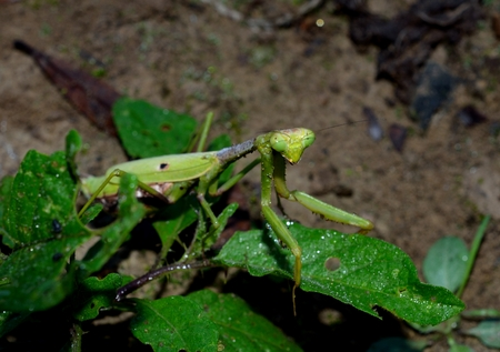 predatory insect: Praying mantis in outdoor setting