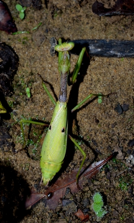 predatory insect: Praying mantis in outdoor settings
