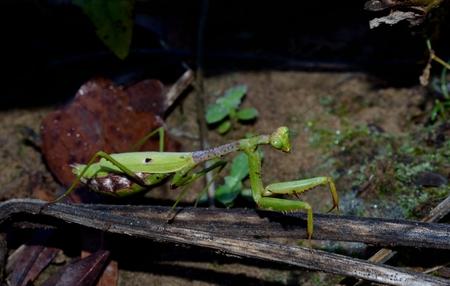 mantis: Praying Mantis, predatory bug Stock Photo