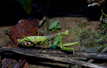 predatory insect: Praying Mantis, predatory bug Stock Photo