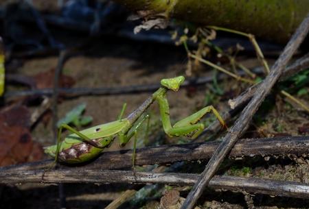 praying mantis: Praying Mantis in outdoor setting