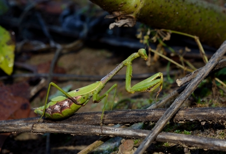 predatory insect: Praying Mantis, predatory insect in outdoor setting