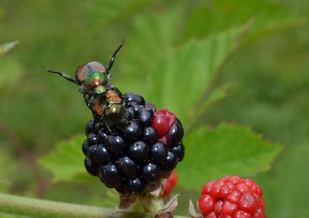 invasive: Japanese beetle eating blackberries and mating. Destructive invasive garden pest Popillia japonica. Stock Photo