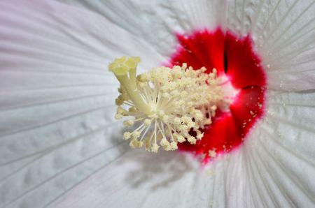 stigma: Floral macro, pollen, anther and stigma of Hibiscus flower Stock Photo