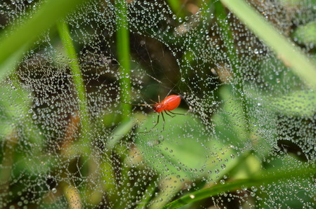 red grass: Red grass spider, web is glistening with early morning dew drops.  Florinda coccinea, black tailed sheetweaver Stock Photo