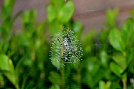 Zwarte en witte spin op zigzag patroon web Stockfoto